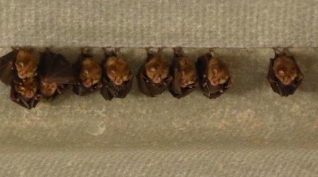 Colonie de Petit rhinolophe et leurs petits enveloppés dans leurs ailes (Michèle Laurand)