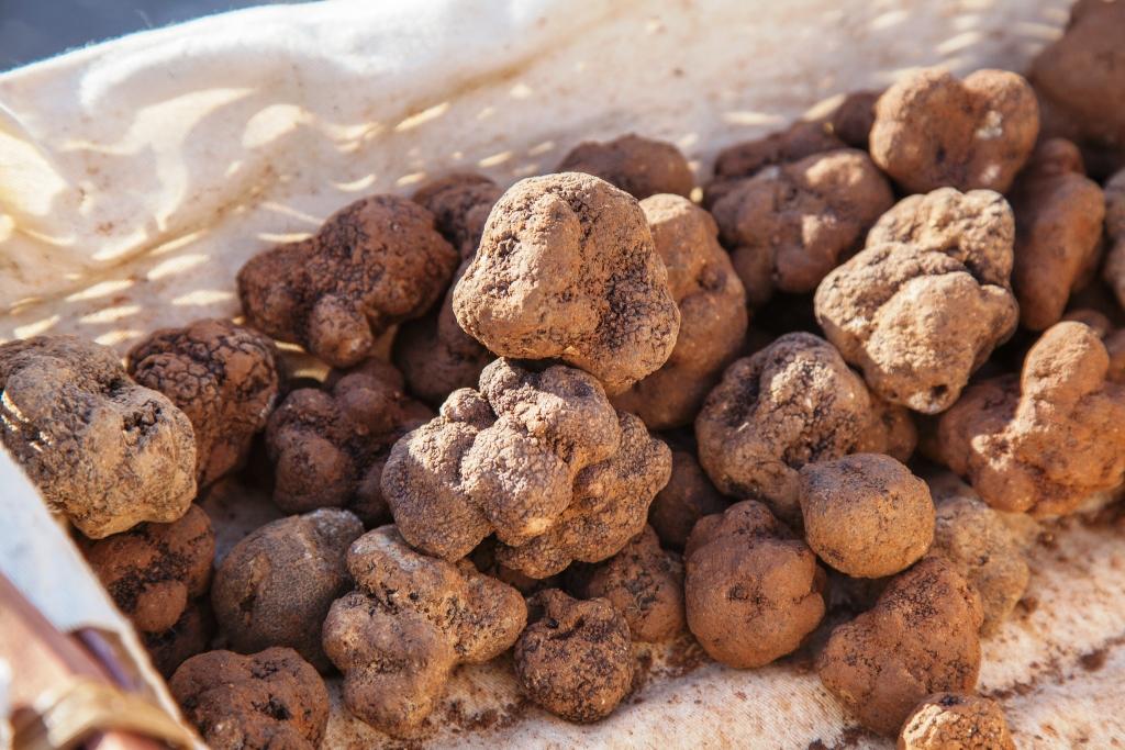 La truffe noire de provence ou tuber melanosporum parc - Culture de la truffe ...