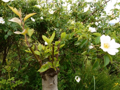 arbres fruitier de la pépinière de Valx